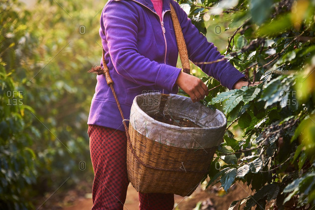 Woman in China harvesting coffee