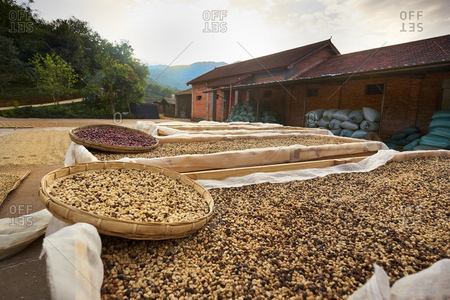 Coffee beans drying in China