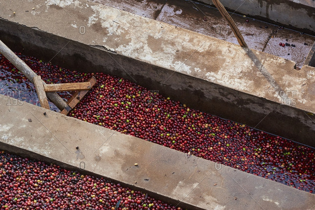 Raw coffee beans being washed