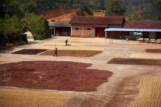Coffee farmers spreading coffee beans