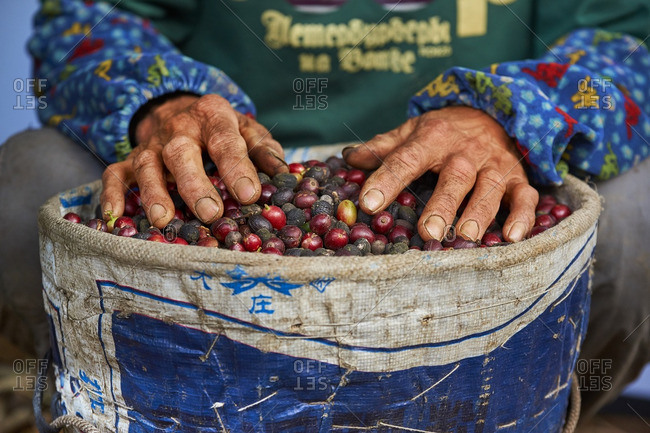 Hands of coffee farmer with coffee cherries