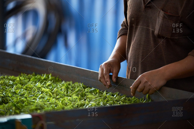 Man standing by tea leaves