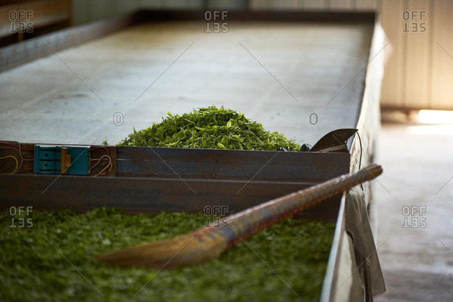 Tea leaves on drying beds