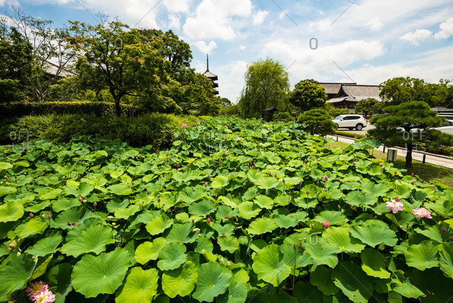 Lotus leaves and blossoms in the gardens at To-ji temple, Kyoto, Japan