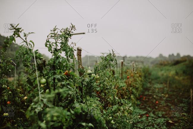 Tomato plants strung on trellis at end of season