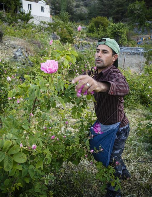 Agros, Cyprus - May 7, 2015: Man harvesting Damascus roses