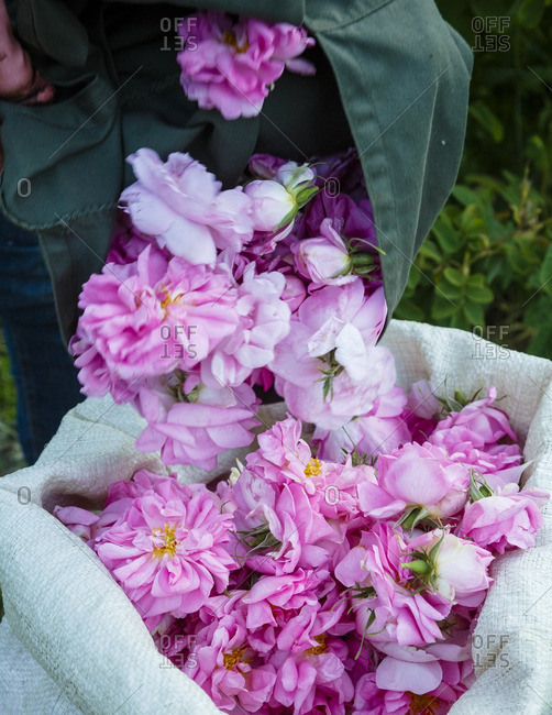 Damascus roses being dumped into a sack, Agros, Cyprus