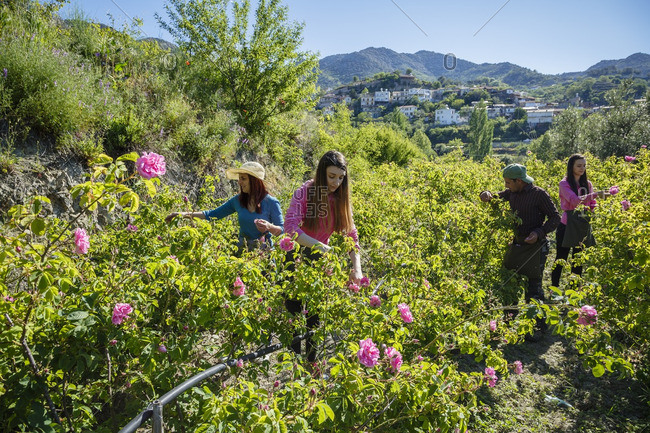 Agros, Cyprus - May 7, 2015: Gardeners harvesting Damascus roses