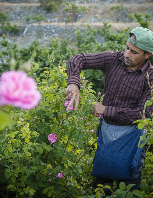 Agros, Cyprus - May 7, 2015: Man picking Damascus roses