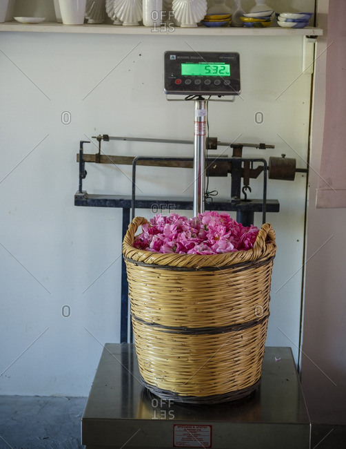 Agros, Cyprus - May 7, 2015: Weighing the roses at Venus Rose cosmetics