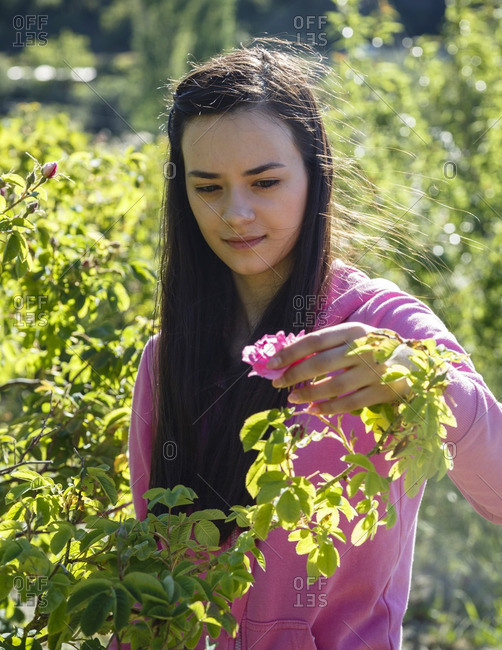 Agros, Cyprus - May 7, 2015: Girl harvesting Damascus roses in a garden