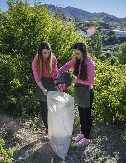 Agros, Cyprus - May 7, 2015: Two girls dumping Damascus roses in a bag from an apron