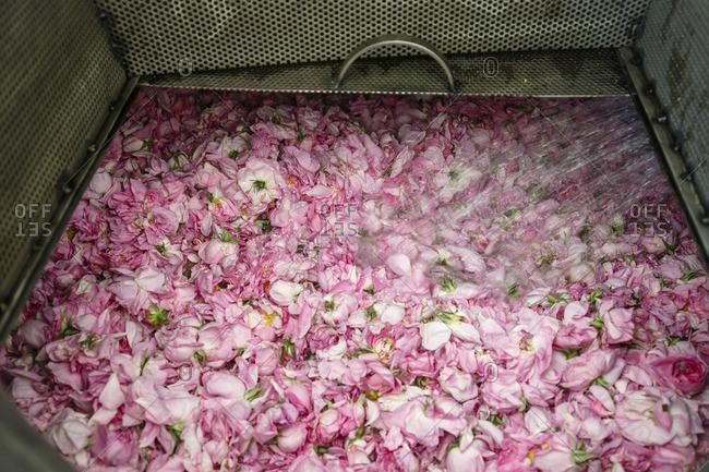 Roses at the distillation plant, Venus Rose cosmetics, Agros, Cyprus