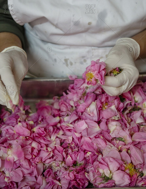 Woman picking rose petals at the factory of Nikis Sweets, Agros, Cyprus