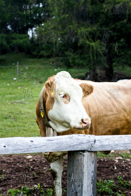 Cow standing behind a wooden fence
