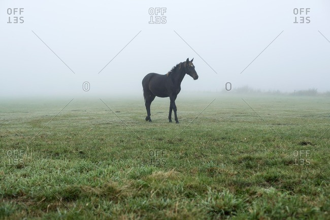Solitary black horse in misty meadow in The Netherlands