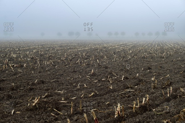 Agricultural land with willows in morning mist in The Netherlands