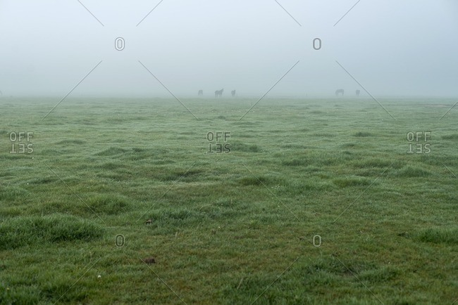 Horses in foggy meadow in The Netherlands
