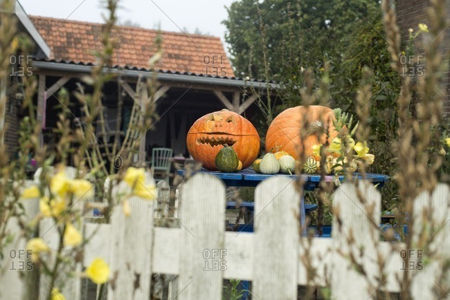 Halloween pumpkins on garden table behind white fence in The Netherlands