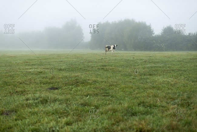 One cow standing in meadow in mist in The Netherlands