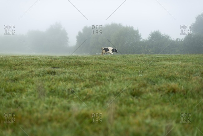 One cow walking in meadow in fog in The Netherlands