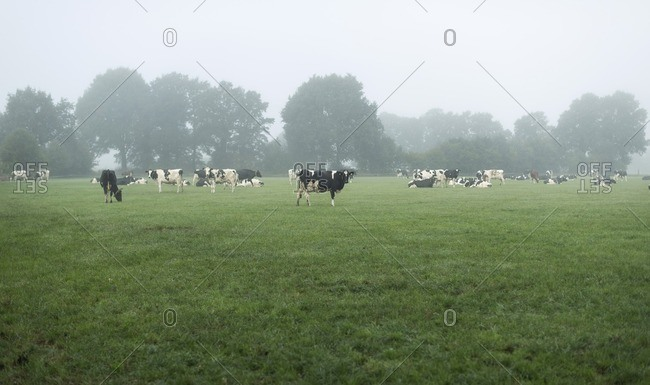 Cattle on farmland in morning mist in The Netherlands