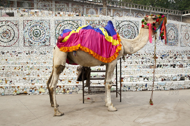 Colorful ornaments on camel