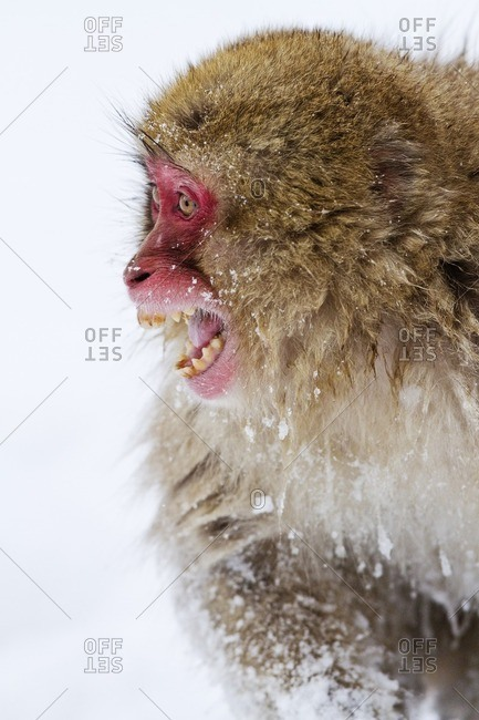Japanese macaque screeching in snow