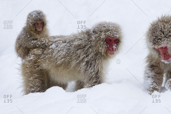 Japanese macaques standing in snow