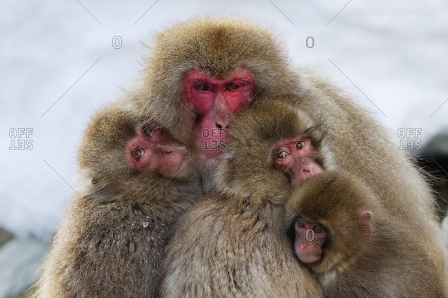 Japanese macaques huddled together