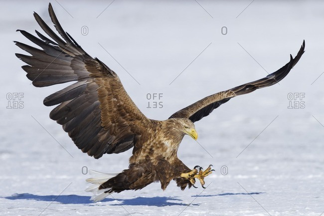 White-tailed eagle landing in snow