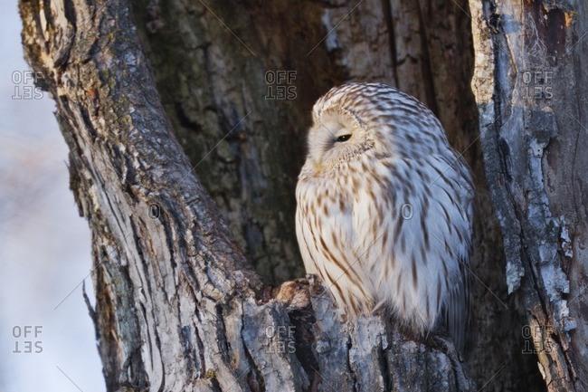 Ural owl perching in nest cavity