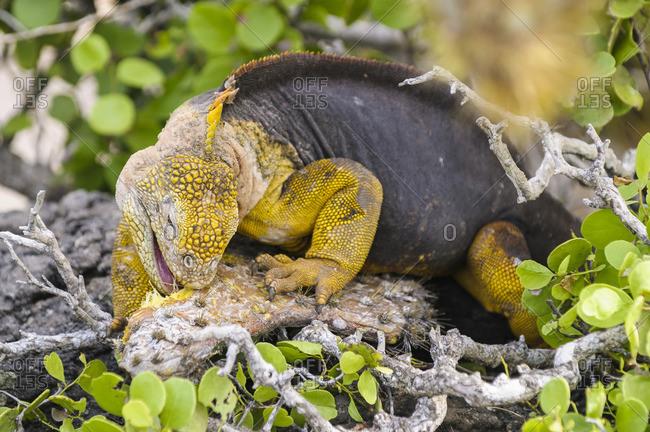 Ecuador- Galapagos Islands- Galapagos land iguana- Conolophus subcristatus