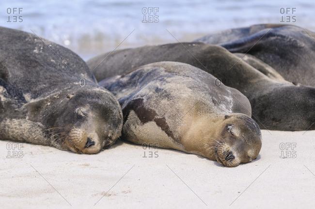 Ecuador- Galapagos Islands- Santa Fe- Galapagos sea lions sleeping on the beach
