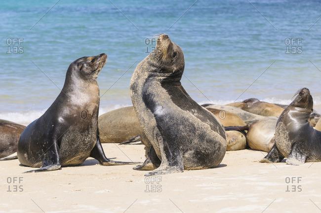 Ecuador- Galapagos Islands- Santa Fe- mating Galapagos sea lions on the beach