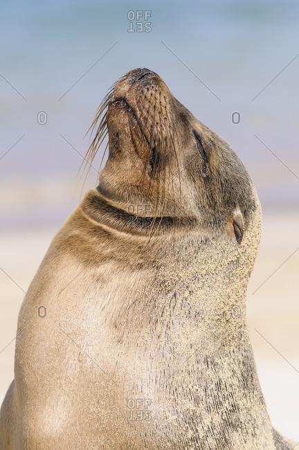 Ecuador- Galapagos Islands- Santa Fe- portrait of Galapagos sea lion with eyes closed