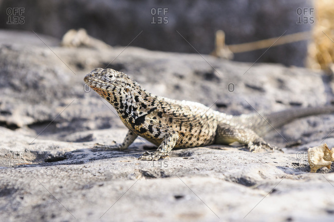 Ecuador- Galapagos Islands- Santa Fe- Galapagos Lava Lizard