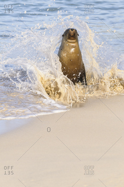 Ecuador- Galapagos Islands- Santa Fe- Galapagos sea lion at seafront