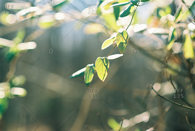 Green leaves on a thin tree branch