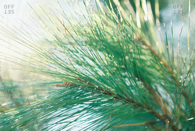 Close-up of pine needles on a branch