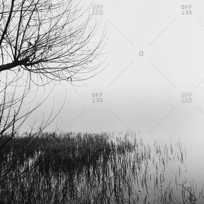 Grass growing in water on a shore in the fog