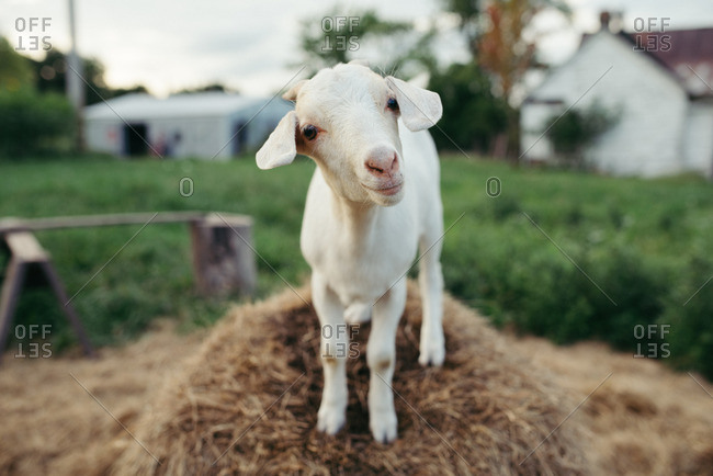 Portrait of a white goat on a hay bale