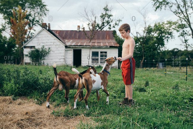 Boy feeding his pet goats