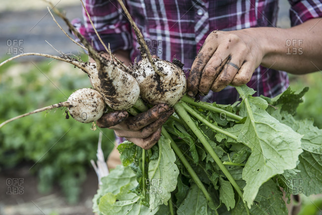 A woman holds freshly harvested white radishes at an organic farm in Washington State