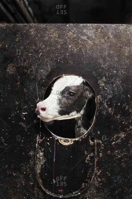 Sweden, Uppland, Grillby, Lindsunda, Young cow (Bos taurus) in pen