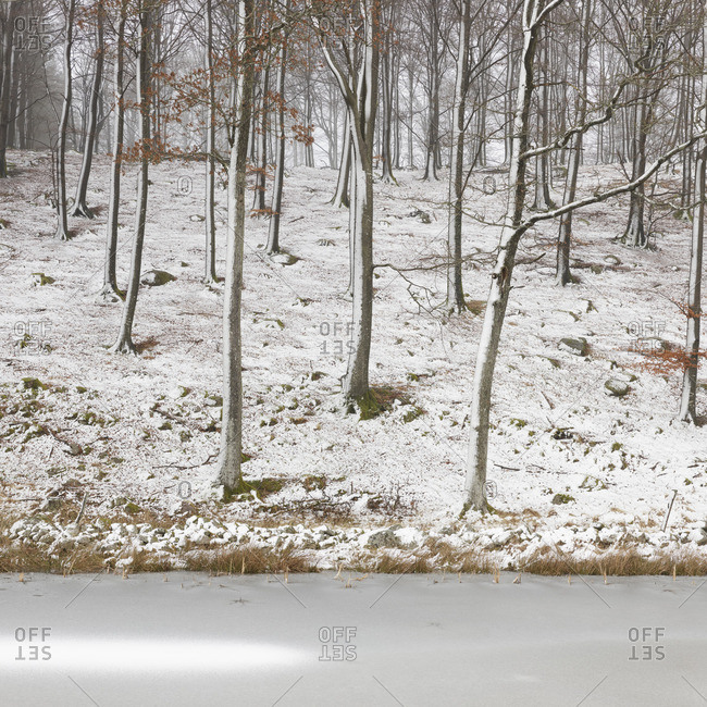 Sweden, Skane, Stenestad, Bare beech trees (Fagus sylvatica) in winter forest by frozen lake