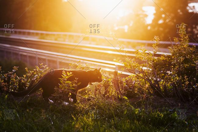 Finland, Pirkanmaa, Cat among bushes