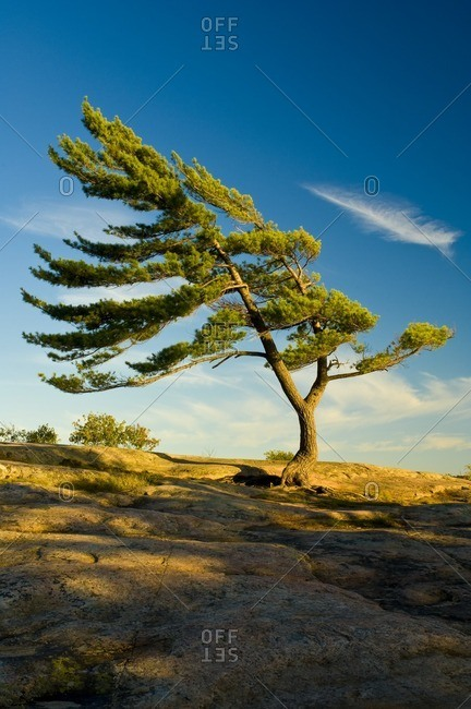 Eastern White Pine (Pinus strobus) shaped by the wind, Killbear Provincial Park, Ontario, Canada