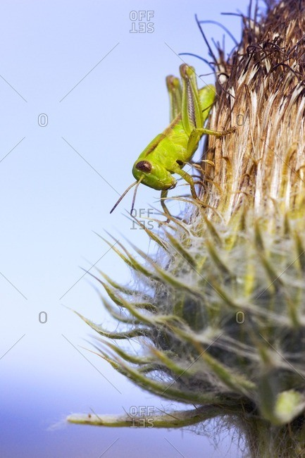 Close-up of a grasshopper on hooker's thistle (Cirsium hookerianum) in the grasslands of British Columbia, Canada