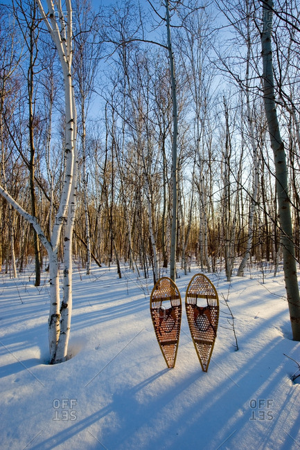 Birch (Betula papyrifera) forest and snowshoes in early spring, Mount Nemo Conservation Area near Burlington, Ontario, Canada